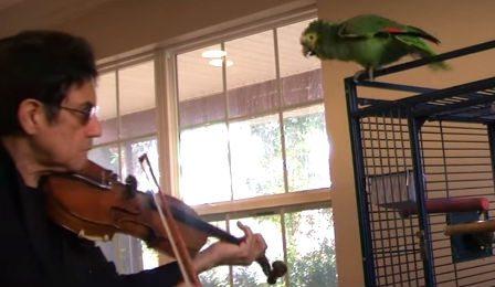 Pissed Off Parrot Titantic Celine Dion Violinist Cover
