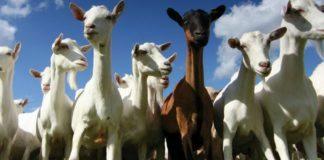 Goat Choir